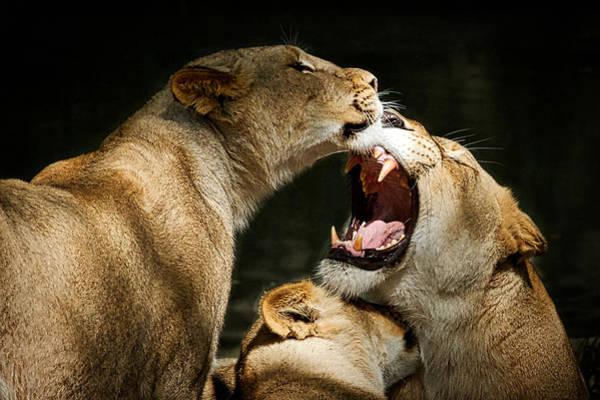 Photograph - Three Lions Playing by Stuart Litoff