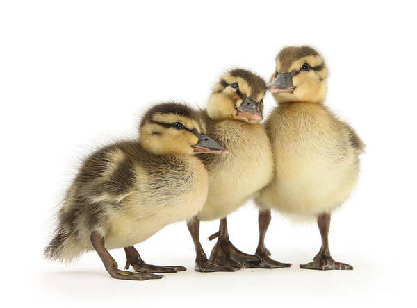 Photograph - Three Little Ducklings by Warren Photographic
