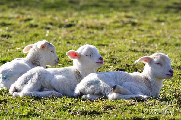 Photograph - Three Little Lambs by Thomas R Fletcher
