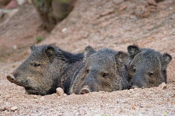 Photograph - Three Little Pigs by Dan McManus