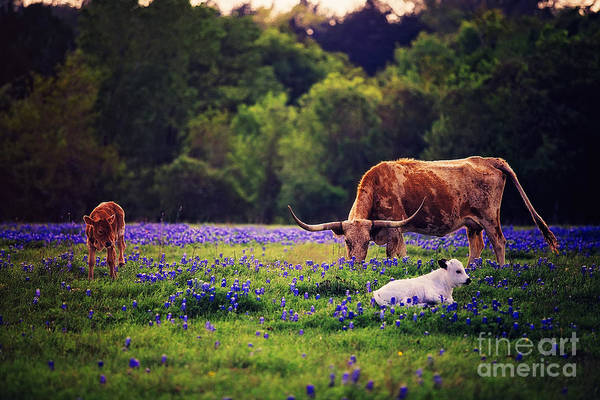 Wall Art - Photograph - Three Longhorn In A Field Of Blue by Katya Horner