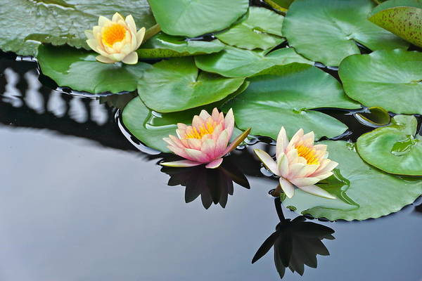 Photograph - Three Lovely Hardy Waterlily Blossoms by Byron Varvarigos