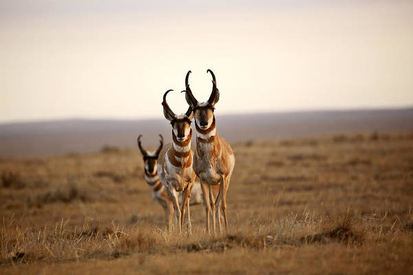 Pronghorn Antelope Wall Art - Photograph - Three Male Pronghorn Antelopes In Alberta by Mark Duffy