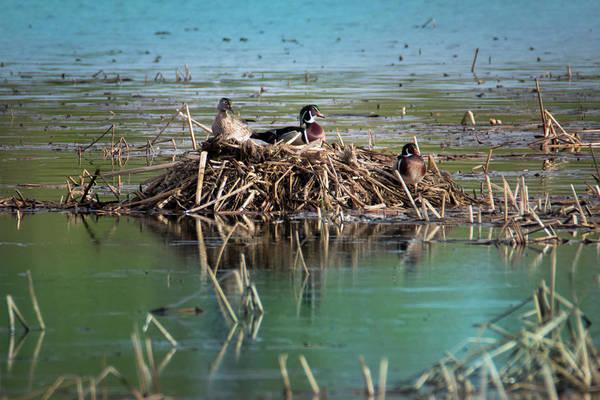 Photograph - Three Wood Ducks Nesting by Patti Deters