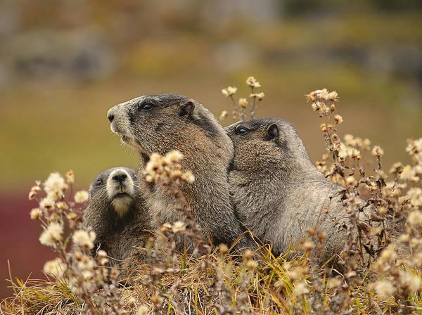 Wall Art - Photograph - Three Marmots 2 by Marv Vandehey