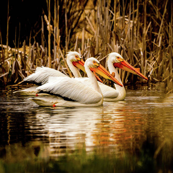 Photograph - Three Of A Kind - American White Pelicans by TL Mair