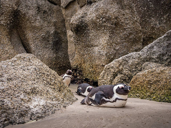 Wall Art - Photograph - Three Peguins At Boulders Beach by Mike Walker