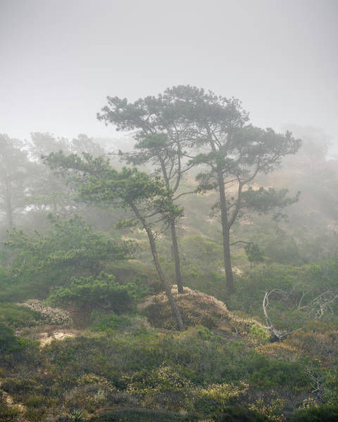 Torrey Photograph - Three Pines In Coastal Fog by Joseph Smith
