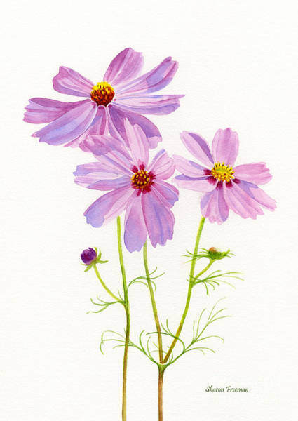 Cosmos Painting - Three Pink Cosmos Blossoms 2 by Sharon Freeman