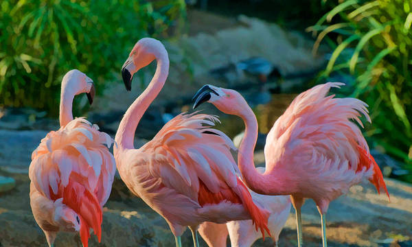 Photograph - Three Pink Flamingos Strutting Their Stuff by Ginger Wakem