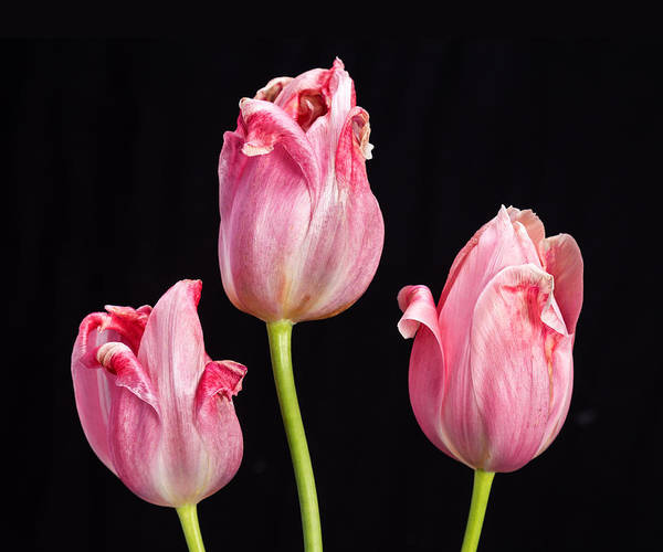 Photograph - Three Pink Tulips On Black by James BO Insogna