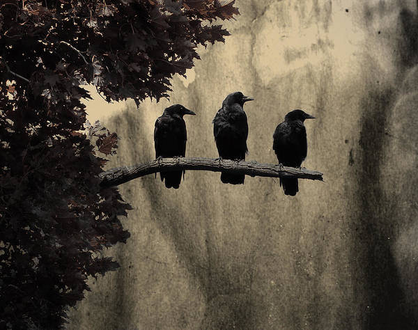Rook Photograph - Three Ravens Branch Out by Gothicrow Images