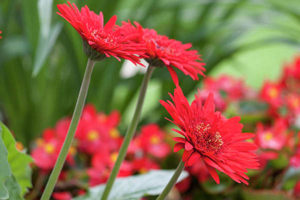 Wall Art - Photograph - Three Red Gerberas II by Suzanne Gaff