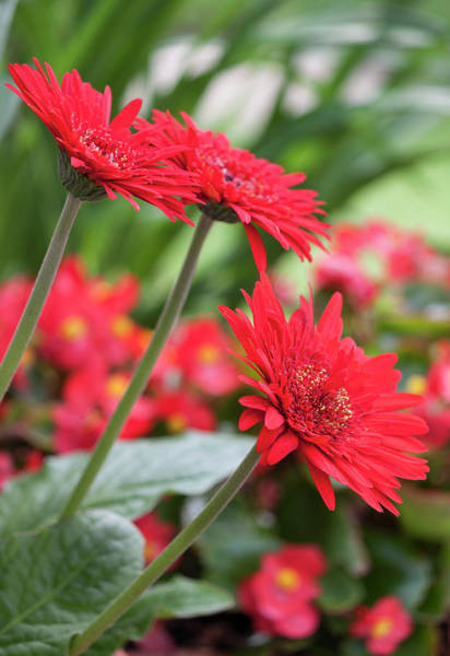 Wall Art - Photograph - Three Red Gerberas by Suzanne Gaff