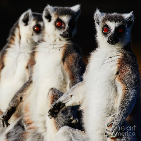 Photograph - Three Ring-tailed Lemurs by Nick Biemans