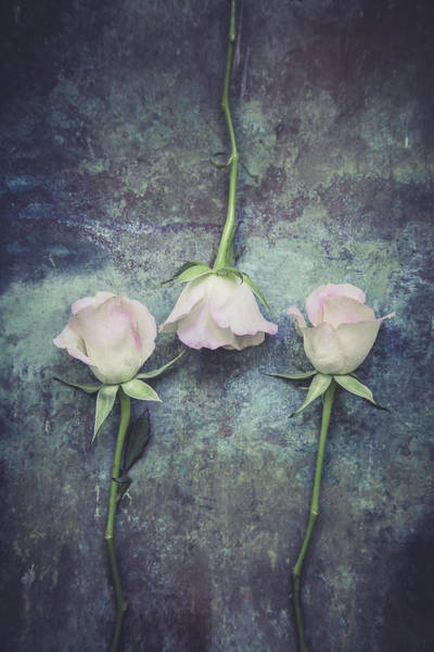 Photograph - Three Roses by Maria Heyens