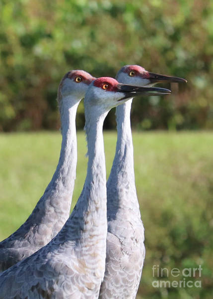 Photograph - Three Sandhill Cranes On Alert by Carol Groenen