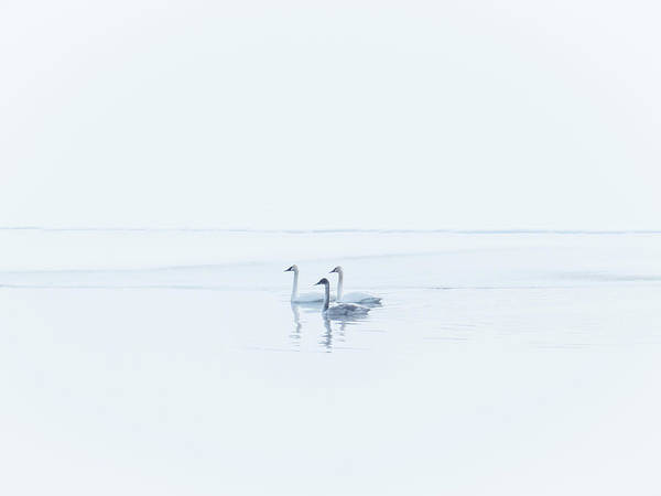 Photograph - Three Swans High Key by Patti Deters