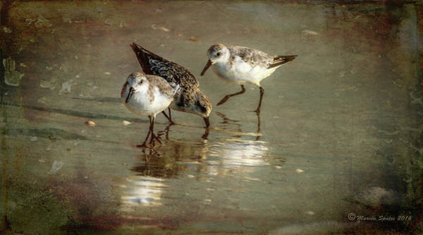 Sandpiper Photograph - Three Together by Marvin Spates