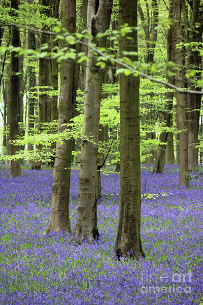 Photograph - Three Trees In Bluebell Wood by Julia Gavin