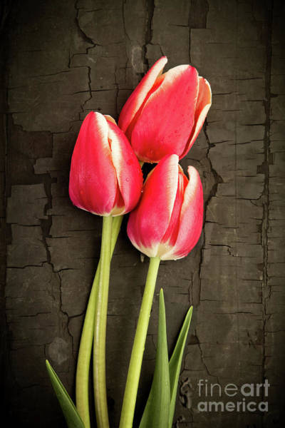 Wall Art - Photograph - Three Tulips by Edward Fielding
