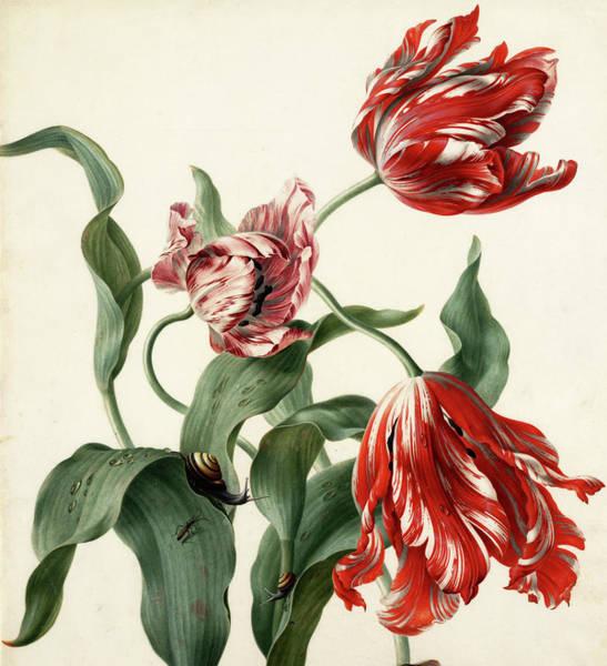 Tulip Bloom Painting - Three Tulips by Herman Henstenburgh