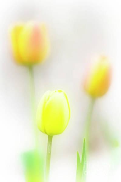 Photograph - Three Tulips by Scott Kemper