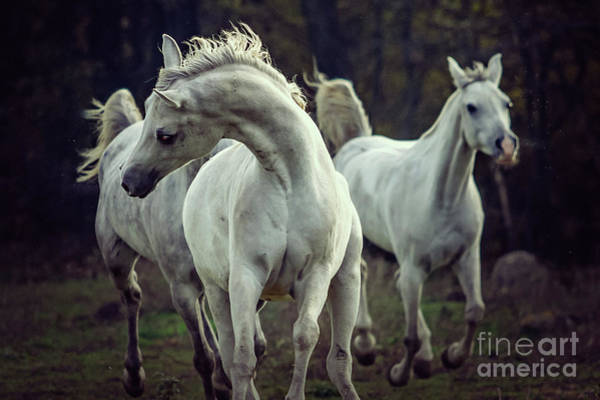 Photograph - Three White Horses Running Stallions by Dimitar Hristov