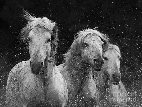 Wall Art - Photograph - Three White Horses Splash by Carol Walker