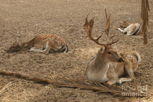 Three Deer Resting Art Print