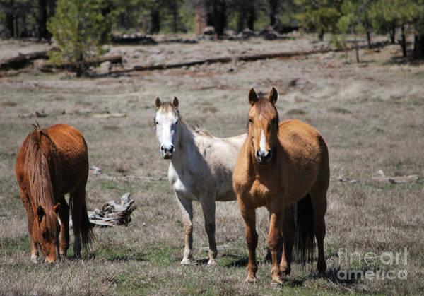 Photograph - Three Wild Horses by Donna Greene
