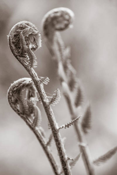 Photograph - Three Wise Ferns by Chris Bordeleau
