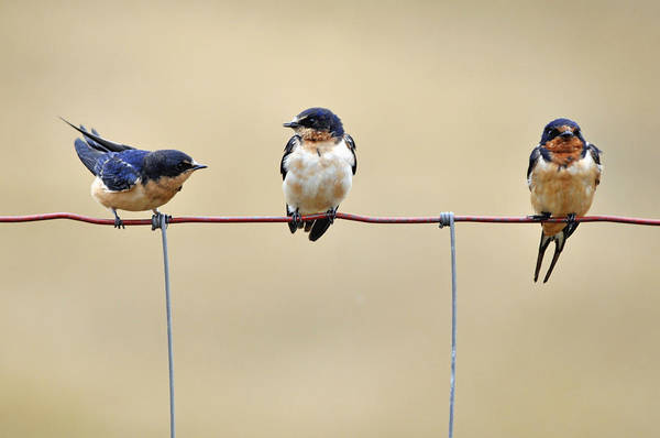 Wall Art - Photograph - Three Young Swallows by Laura Mountainspring