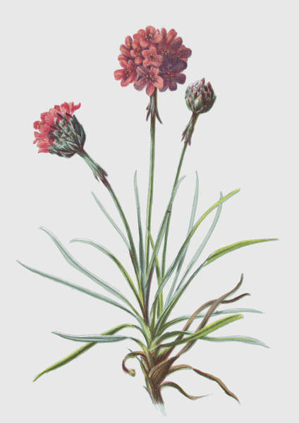 Perennial Painting - Thrift by Frederick Edward Hulme