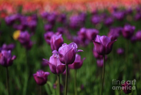 Holland Mi Wall Art - Photograph - Through Purple Fields by Rachel Cohen