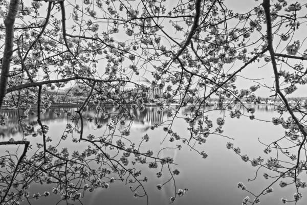 Photograph - Through The Cherry Tree Black And White by Mark Dodd