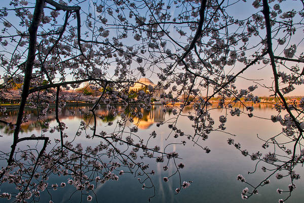 Photograph - Through The Cherry Tree by Mark Dodd