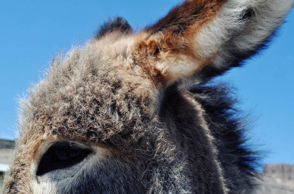 Photograph - Through The Eyes Of A Burro by Kyle Hanson