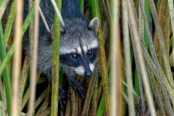 Through The Reeds - Raccoon Art Print