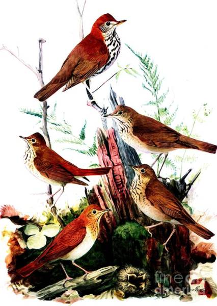 Mixed Media - Thrushes And Veery Birds by Rose Santuci-Sofranko