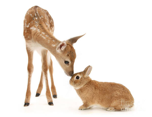 Photograph - Thumper And Bambi by Warren Photographic