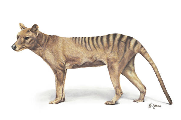 Carnivorous Drawing - 'terry' Thylacine by Fyona Storer