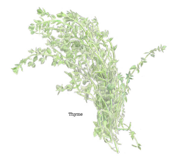 Drawing - Thyme by Dominic White