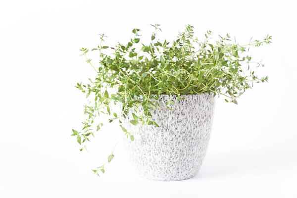 Thyme Photograph - Thymes  by Thubakabra