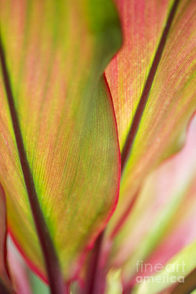 Photograph - Ti-leaf Detail by Charmian Vistaunet