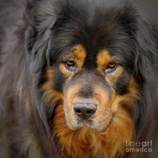 Photograph - Tibetan Herding Dog Portrait by Heiko Koehrer-Wagner