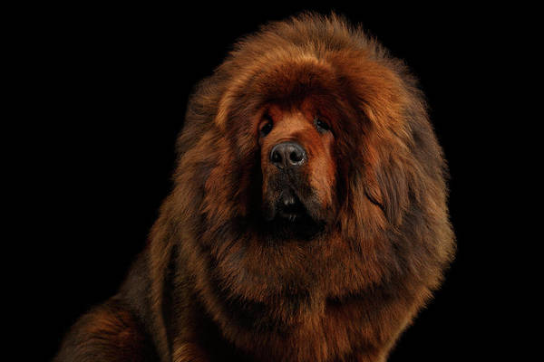 Photograph - Tibetan Mastiff by Sergey Taran