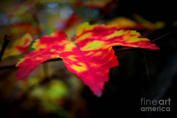 Wall Art - Photograph - Tie Dyed Maple by Hanni Stoklosa