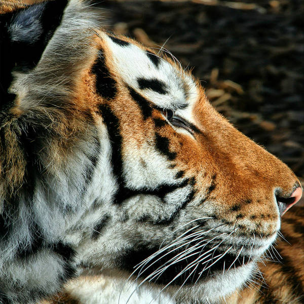 Photograph - Tiger 01 by Ingrid Smith-Johnsen