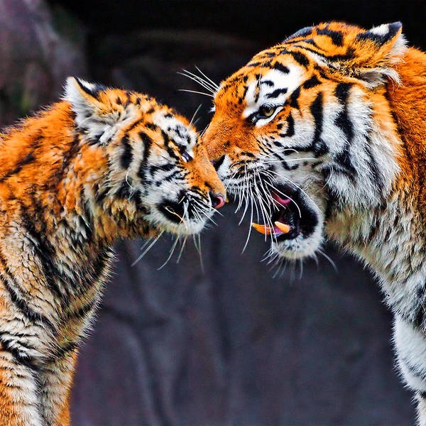 Photograph - Tiger 05 by Ingrid Smith-Johnsen